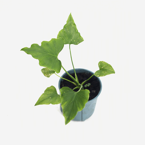 Philodendron Selloum Green