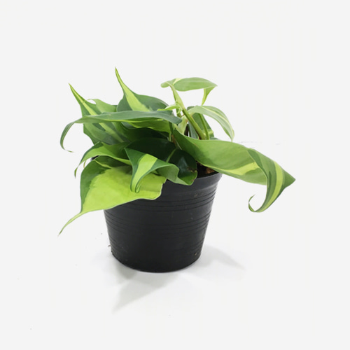 Philodendron Hederaceum var. Oxycardium Brasil - Houseplants or Indoorplants