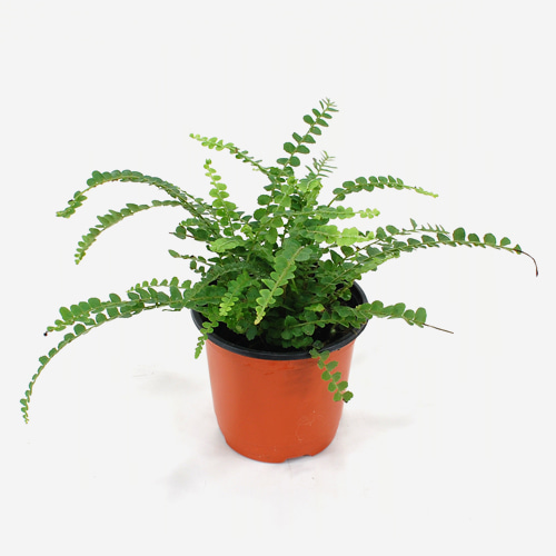 Nephrolepis Exaltata Aka Boston Fern
