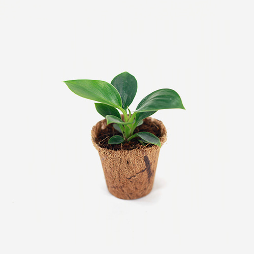 Philodendron Birkin Young plant