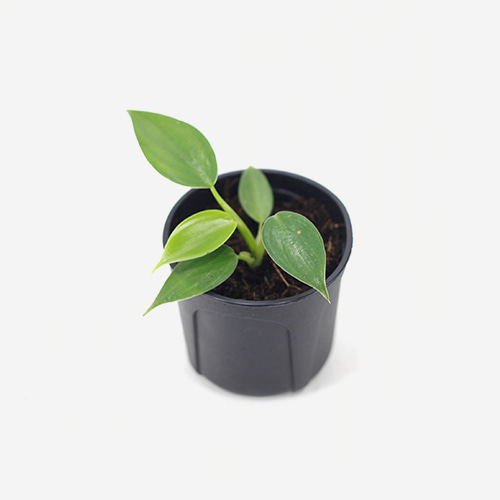 Philodendron Emerald Green(M)