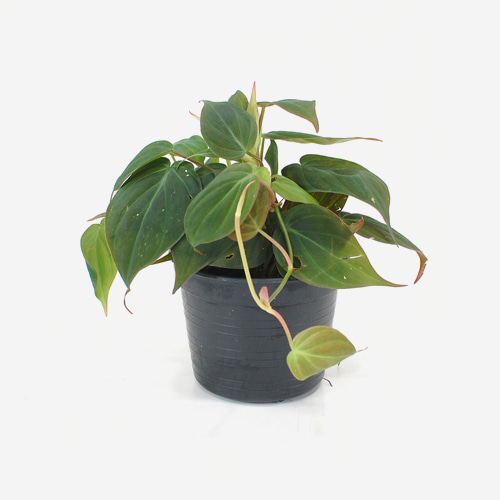 Philodendron Hederaceum 'Micans'