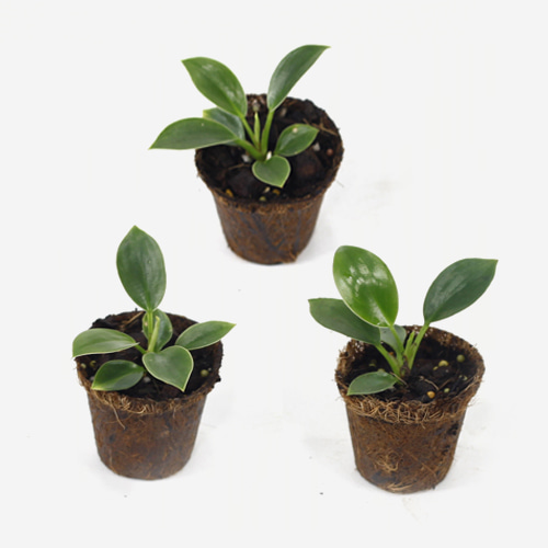 Philodendron Birkin Young plant Trio