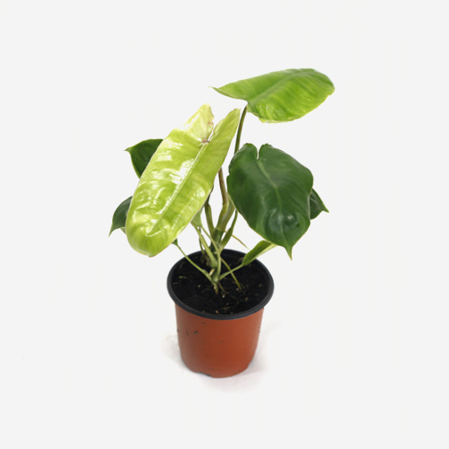 Philodendron Kerala Hybrid - Houseplants or Indoorplants