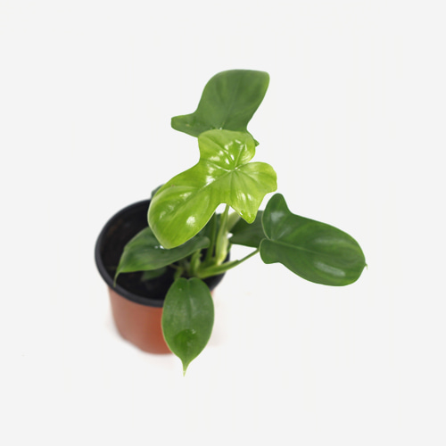Philodendron Laciniatum - Houseplants or Indoorplants