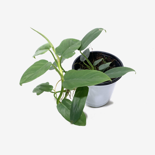 Philodendron Panduriforme - Houseplants or Indoorplants