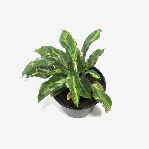 Calathea Louisae Variegated