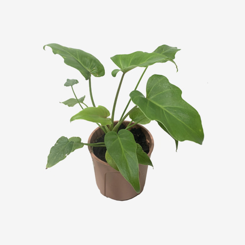 Philodendron Xanadu - Houseplants or Indoorplants