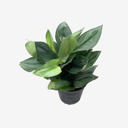 Scindapsus Treubii(M) - Houseplants or indoorplants