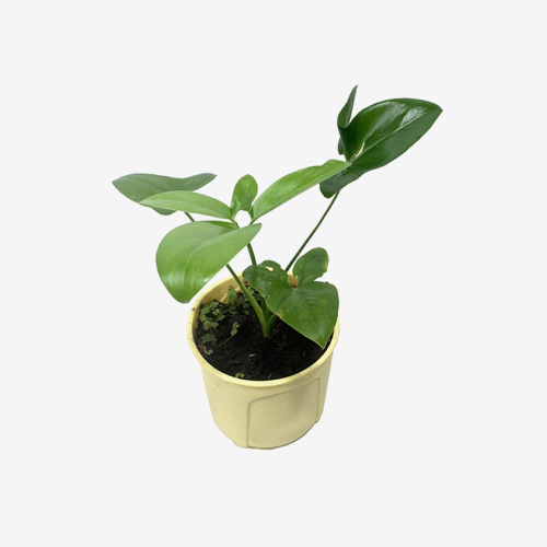 Philodendron Selloum Goeldii - Houseplants or Indoorplants