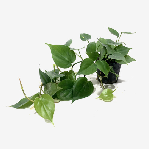 Philodendron Hederaceum var. Oxycardium - Houseplants or Indoorplants