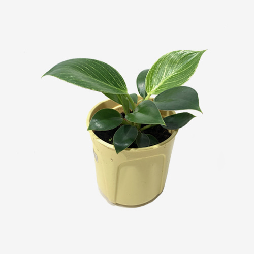 Philodendron Birkin(M) - Houseplants or Indoorplants